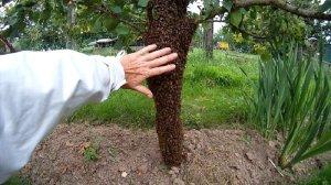 Bienenschwarm am Baumstamm