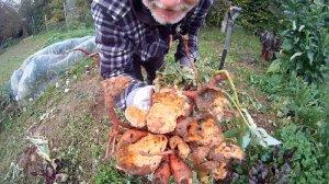 Suesskartoffelernte im Garten