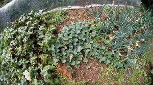 Suesskartoffeln im Garten anbauen