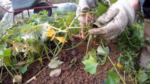 Suesskartoffeln zur Selbstversorgung
