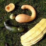 Zucchinivielfalt im Garten