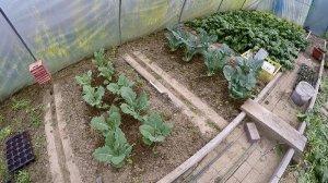 Kohlrabi im Garten anbauen