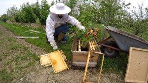 Bienenschwarm am 1 Mai