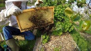 Bienenschwarm locken