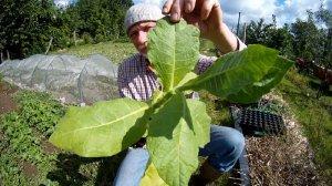 Tabak im Garten anbauen