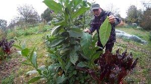 Tabakernte im Garten