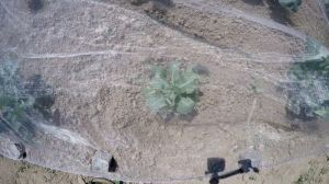 Blumenkohl im Garten anbauen