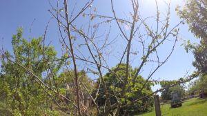 Pflaumenbaum eingegangen