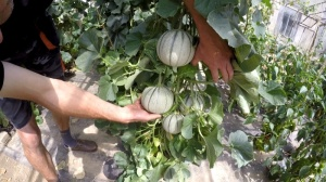 Melonenanbau wie die Profis