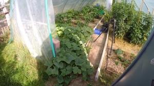 Zitronengurke im Garten anbauen