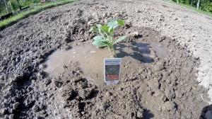 Wassermelone Jungpflanze