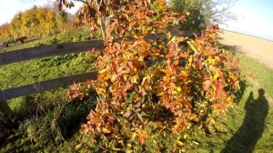 Mispelbaum im Herbst