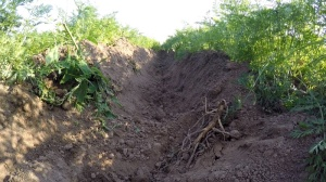 Möhren im Bioanbau