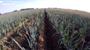 Porree im Bioanbau