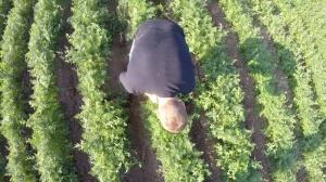 Unkrautbeseitigung im Bioanbau Möhren