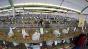 Kaninchenausstellung