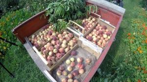 Pfirsischernte im Garten