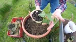 Süsskartoffel selbst pflanzen