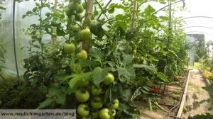 Tomaten im Gewaechshaus