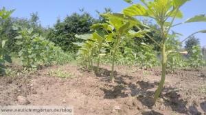 Amarant im Garten anbauen