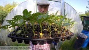 Pseudogetreide selbst anbauen