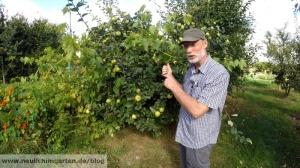 Quitten im Garten anbauen