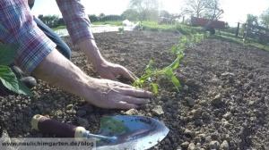 Chia pflanzen