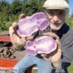 blaue Kartoffeln Beitragsbild