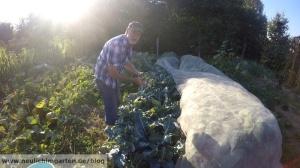 Brokkoli im Garten anbauen