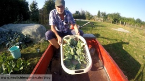 Brokkoliernte im Garten