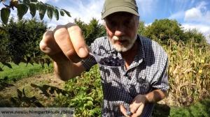 Blauschotenstrauch im Garten