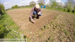 Saubohnen im Garten anbauen
