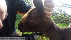 Schafe scheren