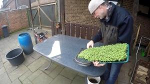 Microgreens Ernte