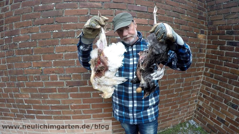 nimmt habicht erbeutete hühner mit
