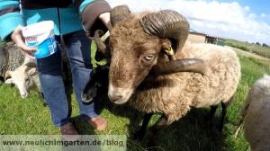 Quessant Schaf