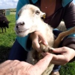 Quessant Schafe Beitragsbild