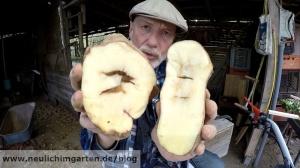 Kartoffeln faulen