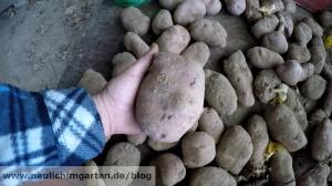 Sarpo Mira die perfekte Kartoffelsorte