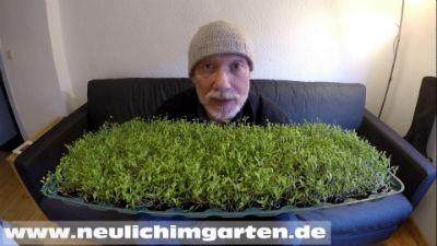 Alfalfa Microgreens Beitragsbild