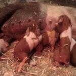 Schweinegeburt Beitragsbild