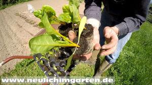 Mangold im Garten anbauen