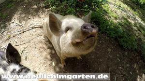 Schweine in der Edermuehle