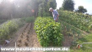 Soja, grosse kraeftige Pflanzen