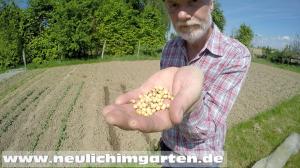 Sojabohnen selbst anbauen