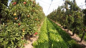 Apfelbaum richtig pflanzen