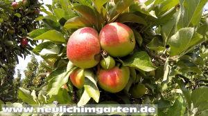 Apfelbaum richtig pflanzen und pflegen
