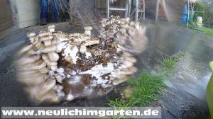 Shitake Pilze selbst zuechten