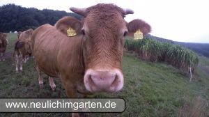Limousin Fleichrinder ganz nah