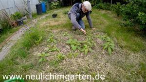 Topinambur im Garten anbauen